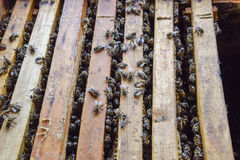 Open bee hive. Plank with honeycomb in the hive. The bees crawl along the hive. Honey bee. Stock Photos