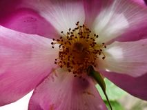 Open for beesness. Closeup of a  open large pink and white  pettles flower with yellow pollen Stock Photography