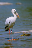 Open bill stork Royalty Free Stock Image