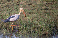 Open bill stork walking in swamp Royalty Free Stock Images
