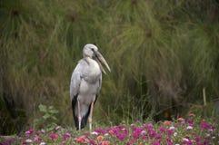 Open-billed Stork. Open-bill stork stand in the garden, bangkok, Thailand Royalty Free Stock Photo