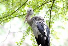 Open-billed stork Asian openbill Anastomus oscitans Stock Photography