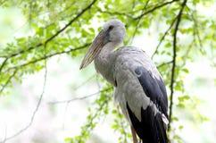 Open-billed stork Asian openbill Anastomus oscitans Stock Image