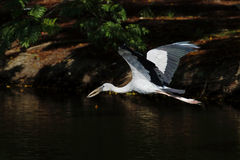 Open-billed stork Asian openbill Anastomus oscitans Stock Photo