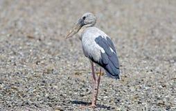 Open-billed stork Asian openbill Anastomus oscitans Birds of Thailand Stock Image