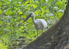 Open billed stork Stock Image