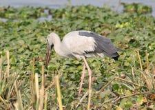 Open billed stork bird Royalty Free Stock Image