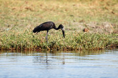Open Billed Stork - Chobe River, Botswana, Africa. Open-Billed Stork in Chobe River, Chobe National Park, Botswana, Africa Stock Photography