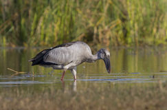 Open Billed Stork Royalty Free Stock Photography