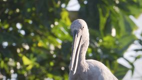 Open-billed stork staying on the roof with some hard light. Shining day. Tropical. Look dumb stock footage