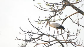 Open-billed stork in tropical rain forest. stock footage