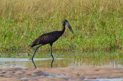 Open-billed stork Royalty Free Stock Photos