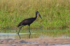Open-billed stork Royalty Free Stock Photos