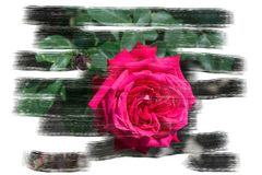 Open blooming rose with pink petals - graphic brush design stock illustration