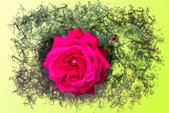 Open blooming rose with pink petals - graphic brush design. Closeup of a pink rose with dense and big open petals - graphic brush design stock image