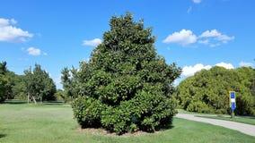 Blue Sky beside Cedar Tree. Open Blue Sky with Single Cedar Tree in Middle royalty free stock photography