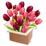 Open box full of tulips Royalty Free Stock Image