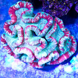 Open Brain coral. Trachyphyllia red green coral colony Stock Photography