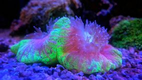 Open brain LPS coral. Large polyp stone coral in reef aquarium tank royalty free stock image