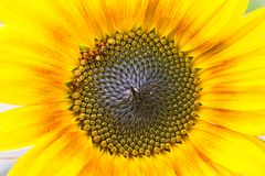 Open bright vibrant yellow sunflower closeup. Bright positive vibrant yellow sunflower closeup in the garden open for sunshine royalty free stock photos
