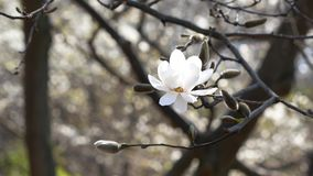 Open bud of white on magnolia tree. Close up stock video