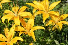 Open buds of yellow lilies stock photo