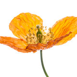 Open For Business. An orange Welsh poppy isolated on a white background stock photo