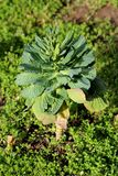 Open Cabbage or Headed cabbage leafy green annual vegetable crop with dark green leaves growing in local garden surrounded with. Grass and soil on warm sunny stock photo