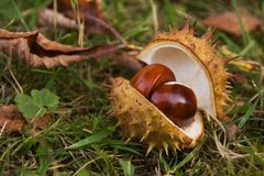 Open Chestnut Royalty Free Stock Image