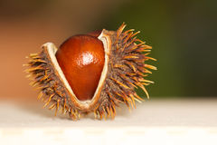 Open chestnut as decoration Stock Images