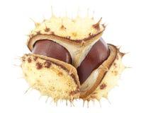 Open chestnut Royalty Free Stock Photos