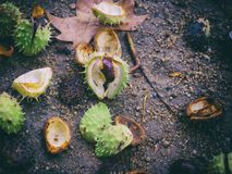 Open chestnuts in the floor. Vintage oldie Royalty Free Stock Photography