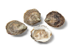 Open and closed European flat oysters Stock Images
