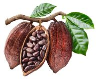 Open cocoa pod with cocoa seeds which is hanging from the branch stock photo