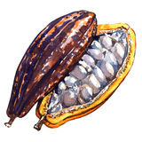 Open cocoa pod on a white background. Stock Image