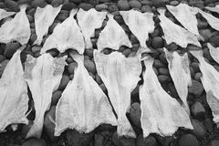 Open codfish drying over stones. Stock Photo