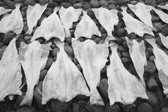 Open codfish drying over stones. Stock Photo