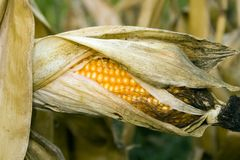 Open Corn Royalty Free Stock Images