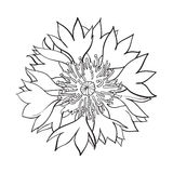 Open cornflower blossom, top view, sketch style vector illustration Stock Photo