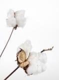 Open cotton boll, Gossypium. Stock Photography