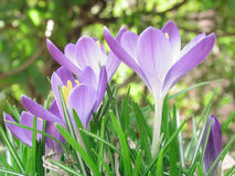 Open Crocuses. Underside of purple crocuses in the grass Stock Image