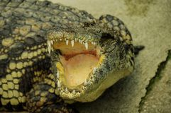 Open and dangerous jaws of crocodile. Big, dangerous crocodile with open jaw Royalty Free Stock Photos