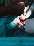 Open Discectomy of a Dog Royalty Free Stock Image