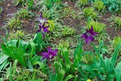 Open donkere purpere tulpen in één van de parken Royalty-vrije Stock Afbeeldingen