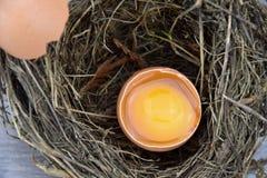 Open egg in a bird's nest, shell lying on the nest. Yolk and albumen. Egg Royalty Free Stock Images