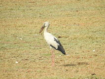 Open fakturerade storken Royaltyfri Bild