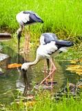 Open fakturerade storkfågeln Royaltyfria Bilder