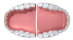 Open False Human Teeth Extreme Closeup Stock Photo