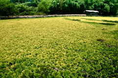 Open field of Chinese water lettuce Stock Photos