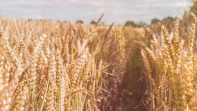 Open field with dry golden wheat spikes on sunny day ready for harvest before autumn.  Royalty Free Stock Photos